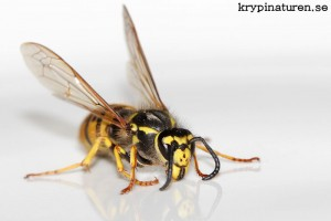 Vespula germanica - Tyskgeting, drottning
